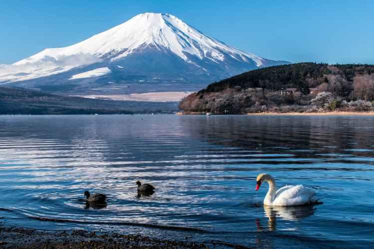 white swan on water near mountain