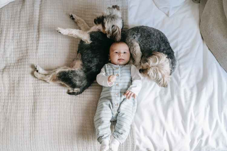 morkies resting on bed near infant