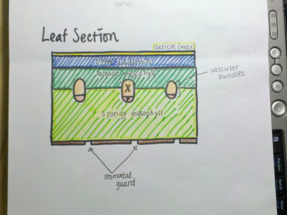 medium resolution of 9 1 1 draw and label plan diagrams to show the distribution of tissues in the stem and leaf of a dicotyledonous plant