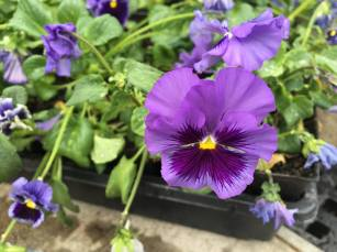 Happy pansies donated by a friend of the 13 Moons Garden
