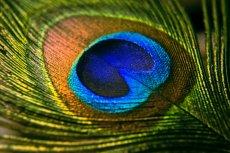 peacock-3