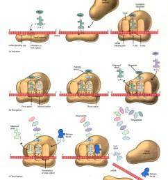 dna translation diagram ribosome [ 955 x 1200 Pixel ]