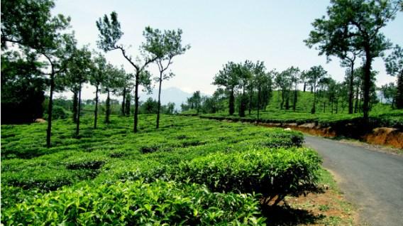 15travel-wayanad-tea-estate