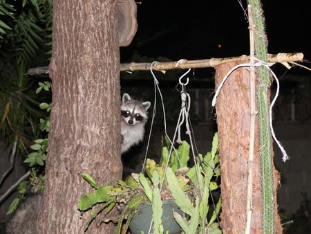 Raccoons - Gang of 4