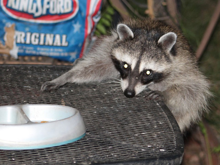 Raccoon going after cat food