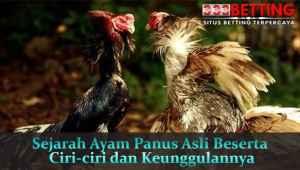 Sejarah-Ayam-Panus-Asli-Beserta-Ciri-ciri-dan-Keunggulannya