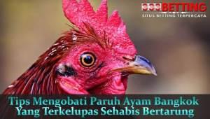 Tips-Mengobati-Paruh-Ayam-Bangkok-Yang-Terkelupas-Sehabis-Bertarung