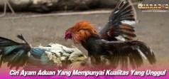 Ciri Ayam Aduan Yang Mempunyai Kualitas Yang Unggul