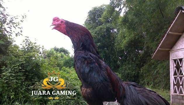 Ayam Siam Batu