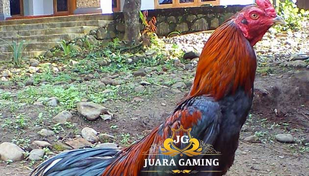 Tubuh Ayam Jago