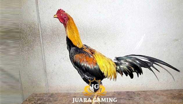 Ayam Bangkok F1 Asli