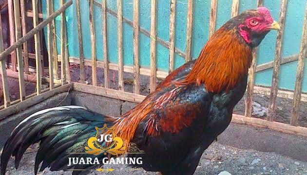 Keunggulan Ayam Pakhoy