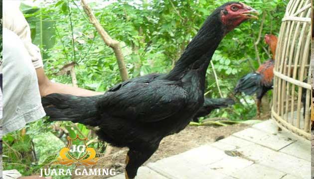 Ayam Bangkok Betina