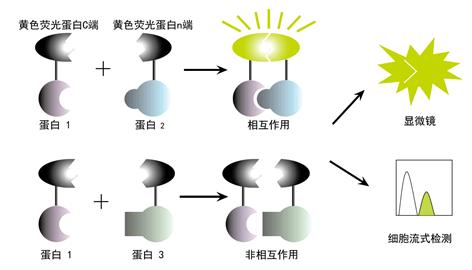 熒光互補BiFC技術與蛋白質相互作用