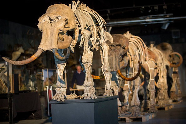 Family of mammoths