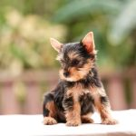 How Buying Teacup And Hypoallergenic Dogs Contributes To Puppy Mills One Green Planet