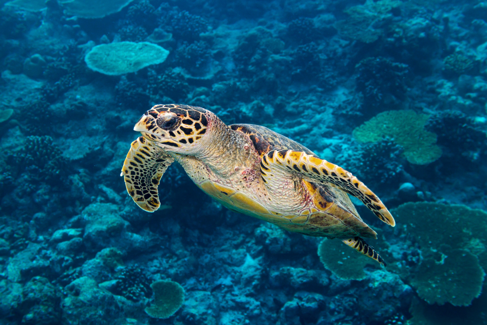 Petition: Protect Critically Endangered Hawksbill Turtles From Poaching!