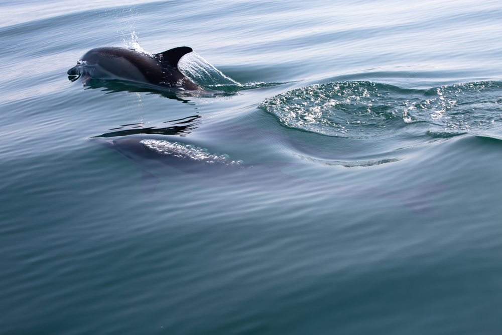 Petition: Protect the Dolphins Dying in the English Channel at High Rates!