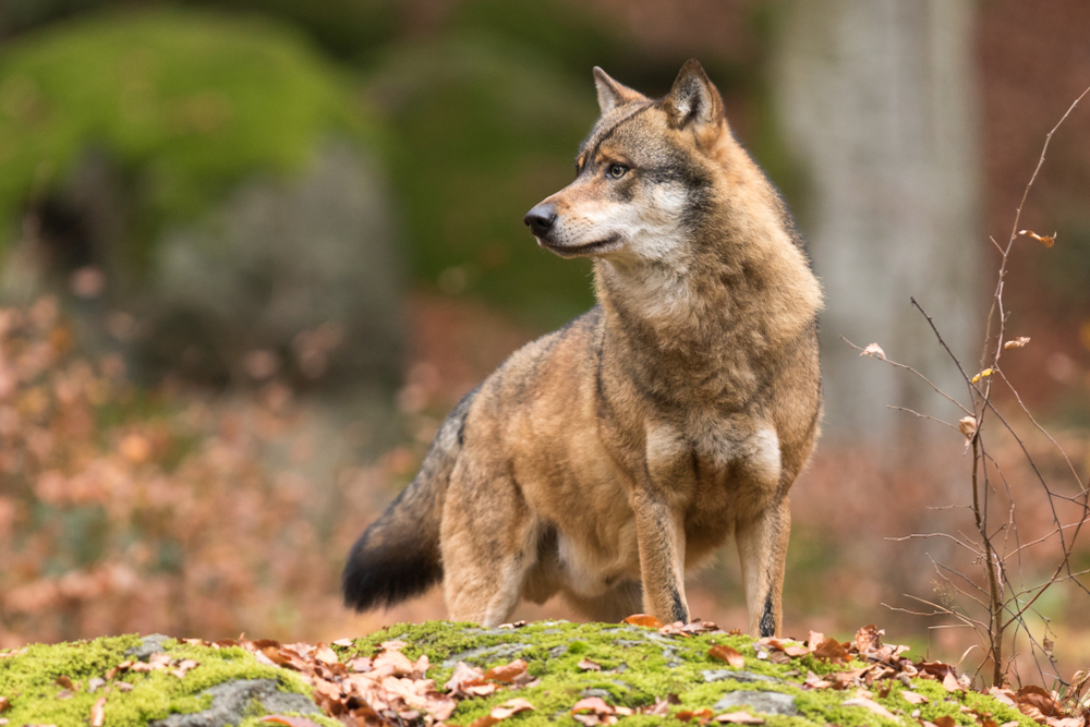 Petition: Protect European Wolves from Slaughter