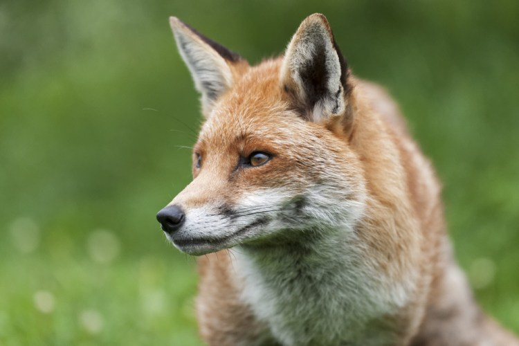 Petition: Ban the Snaring of Foxes in the UK for Fur