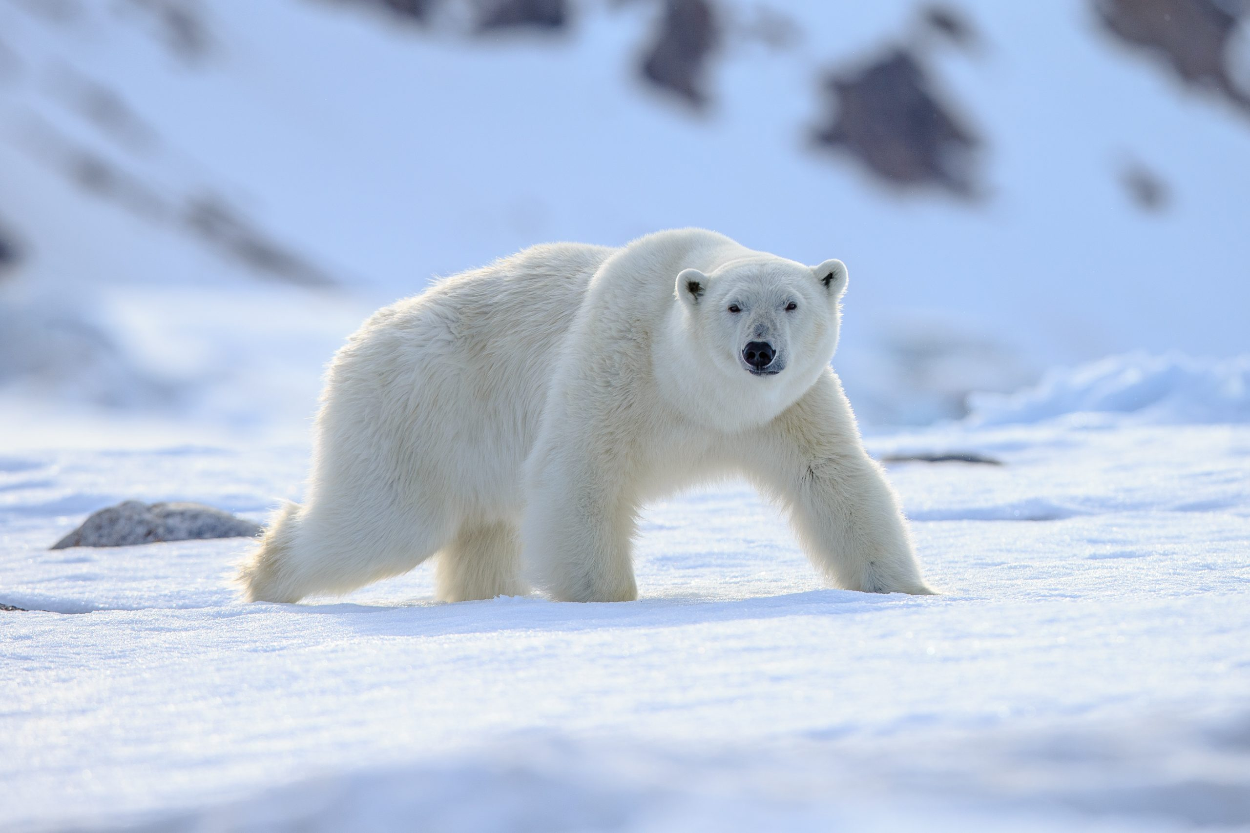 Petition: Polar Bears in Danger of Being Buried Alive as their Dens Go Undetected During Oil Drilling