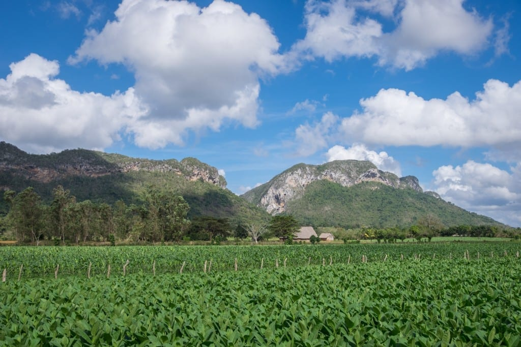 Green tobacco fields in the foreground; green mountains underneath a blue sky with white clouds in the background.
