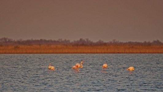 15d Flamingos am Plage de Piémanson