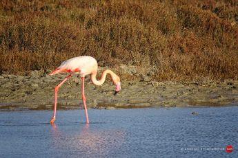 Flamingo bei Saintes-Maries-de-la-mer