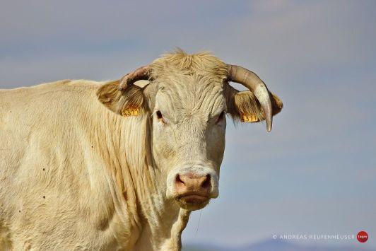 Starrende Kühe