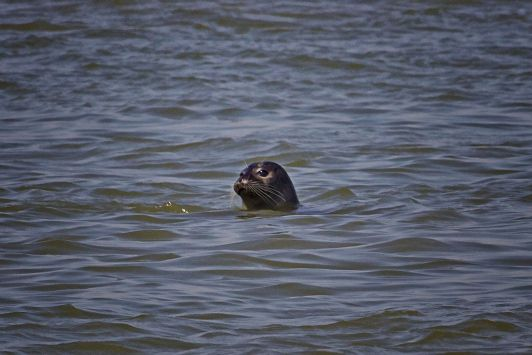 Le Hourdel - Seehund