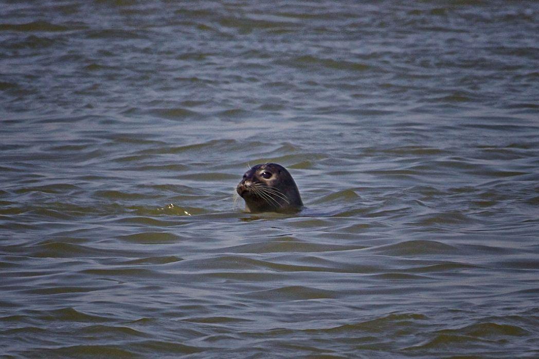 Somme-Bucht - Seehund