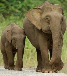 Karakteristik Hewan Gajah  1516a007