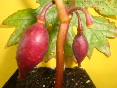 Dysosma delavayi mit Frucht