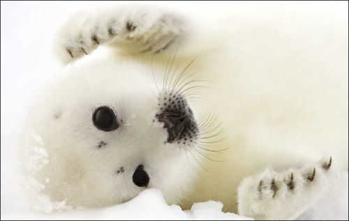 ashcampbell:baby seals are so effing adorable!