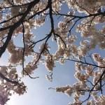 桜が満開ですね~♪