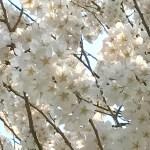 【カラーヒーリング】色の処方・桜の季節は光のシャワーを浴びよう^^