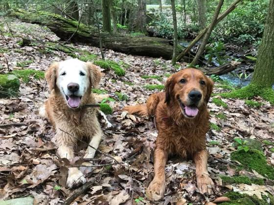 Wet dogs lying in the woods
