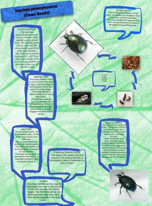 small resolution of clown beetle caprinus clown beetle eggs en forensics insect life cycle pennsylvanicus pmi science glogster edu interactive multimedia posters