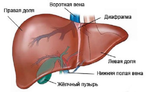 Distribution for the liver How to take