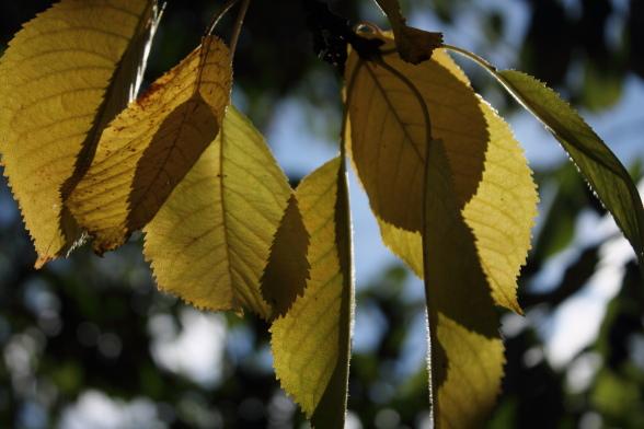 Herbstwanderung im Trubachtal Kirschblätter