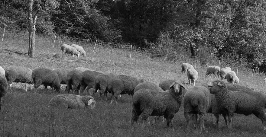 Wanderung nach Wolkenstein Schafe im Altenthal