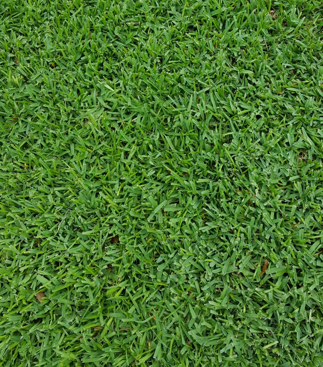 St Augustinegrass Is A Wide Bladed Spreading Warm Season Turfgrass That