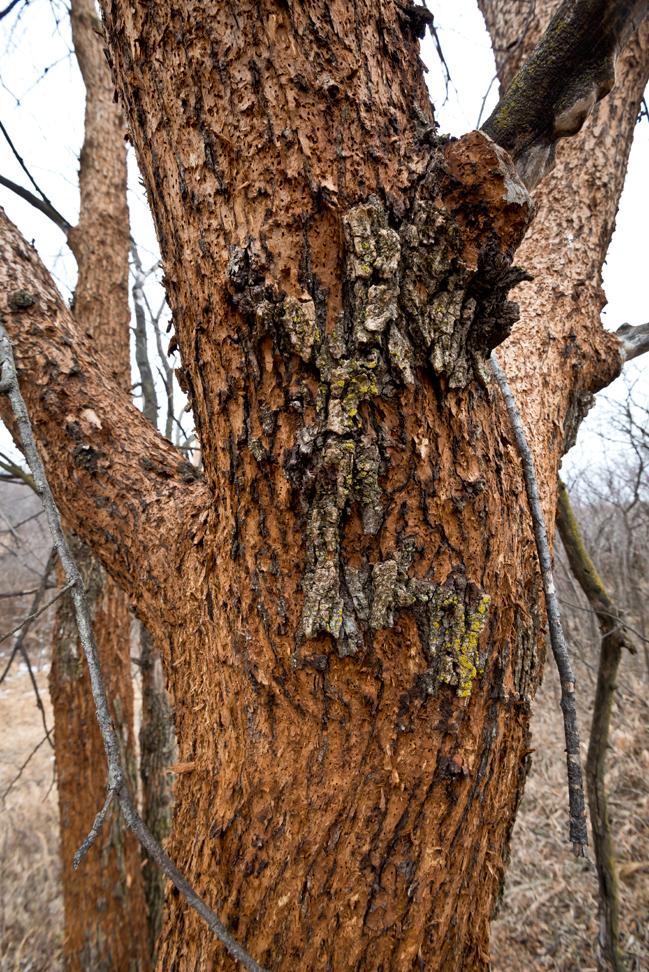 Bark Stripped Tree CU