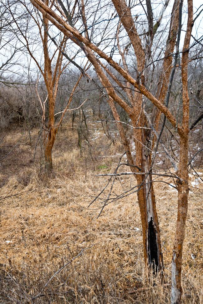 Bark Stripped Trees at Long Draw