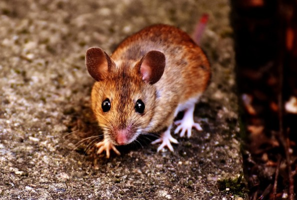 Oregon Woman Dies From Rare Disease Spread By Rodents: What Is ...