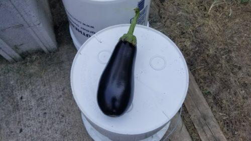 eggplant, preparedness, survival gardening