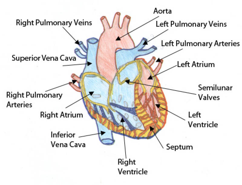 fetal pig skeleton diagram 1995 jeep grand cherokee laredo speaker wiring a heart warming valentine s day tale the toast share this article or skip to