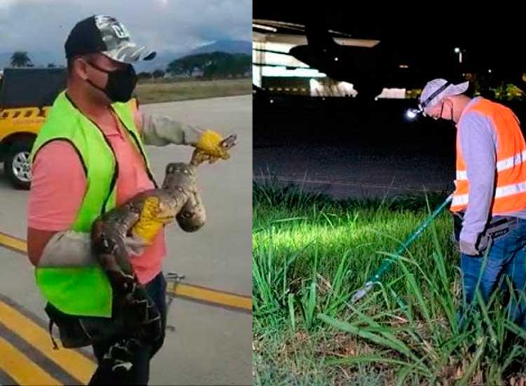 Presencia de boas constrictor en el aeropuerto El Edén y zonas rurales de La Tebaida