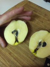 winter moths are a common inhabitant of quince in this area, simply cut out where they've been