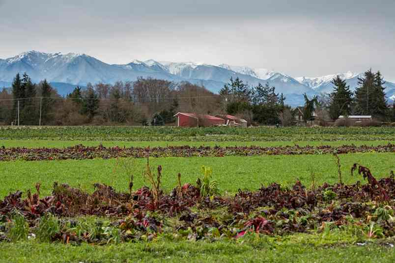 View of the Olympic Mountain range from Nash's Organic farm.